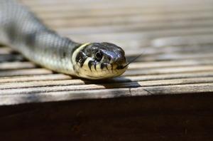 grass-snake-379025_1920